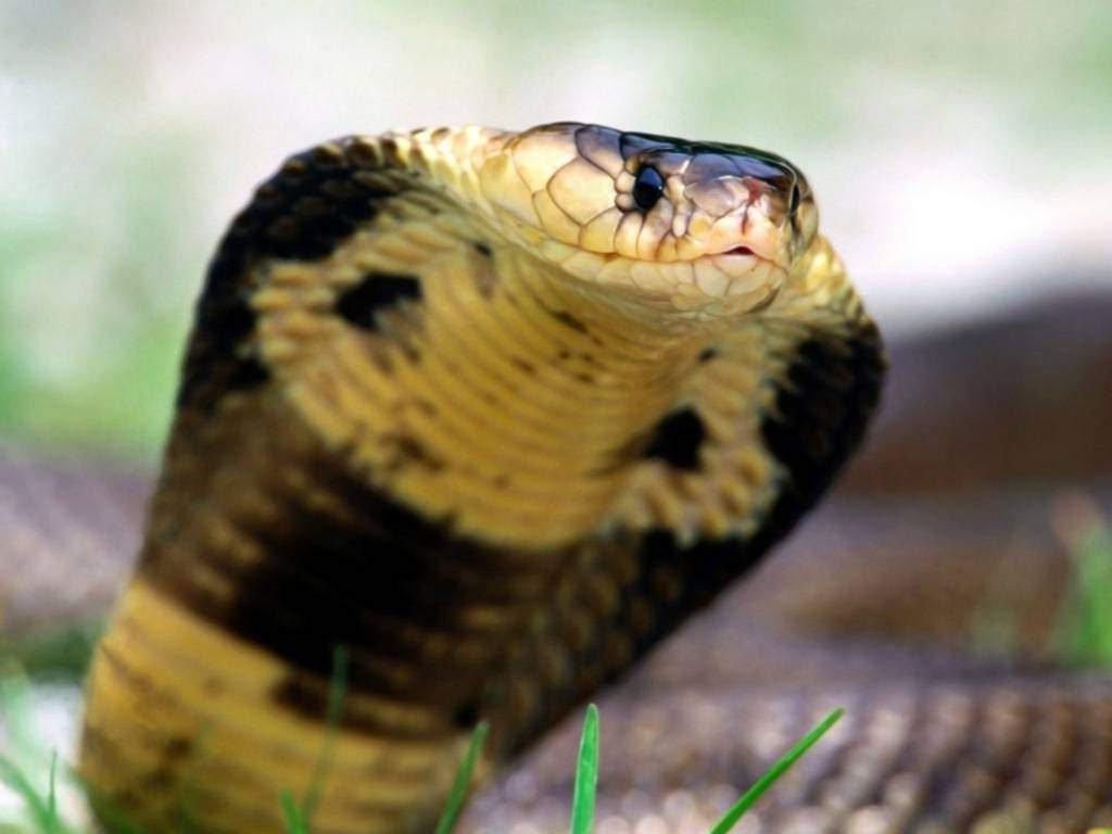 Королевская кобра видео быстрый
