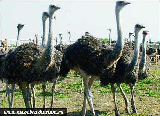 Veľké svalové vtáky