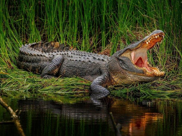 Os flyttar krokodil