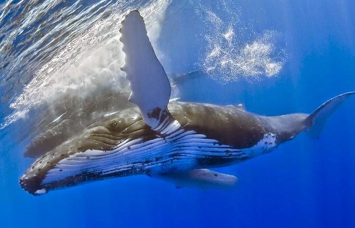 Prehistorické predkovia veľrýb žili na zemi a presunuli sa na štyri nohy.  Je pravda c2776ae8a00