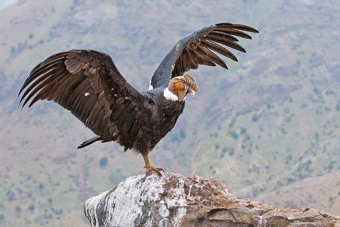 Världens största flygande fågel