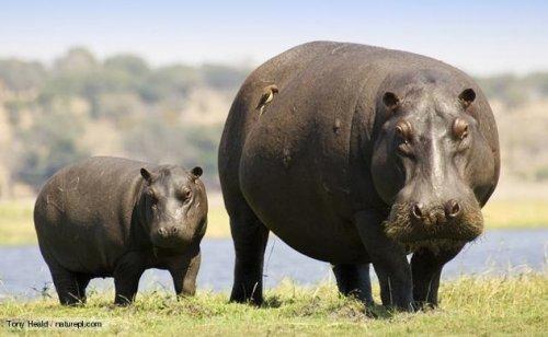 čierne mláďatá s tukové somáre