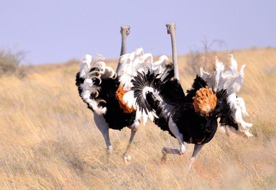 Afrických mužov s veľkými vtáky