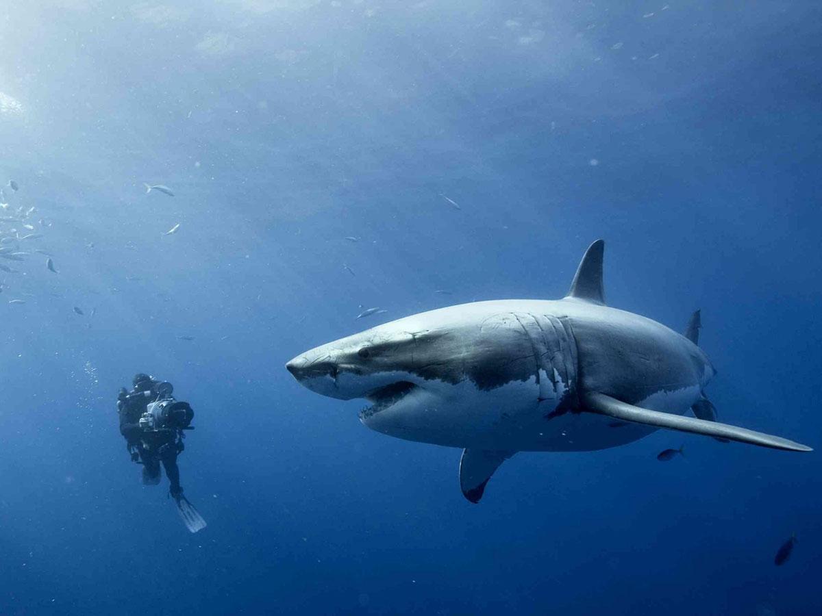 Colcloughs shark