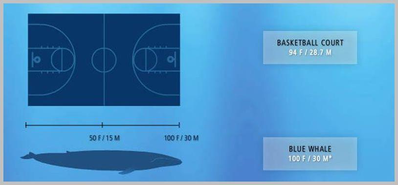 blue whale size - 800×365